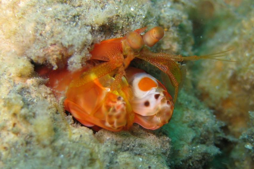 Lembeh, Lembeh,Indonesien,Fangschrecken,Heuschreckenkrebs (Stomatopoda)