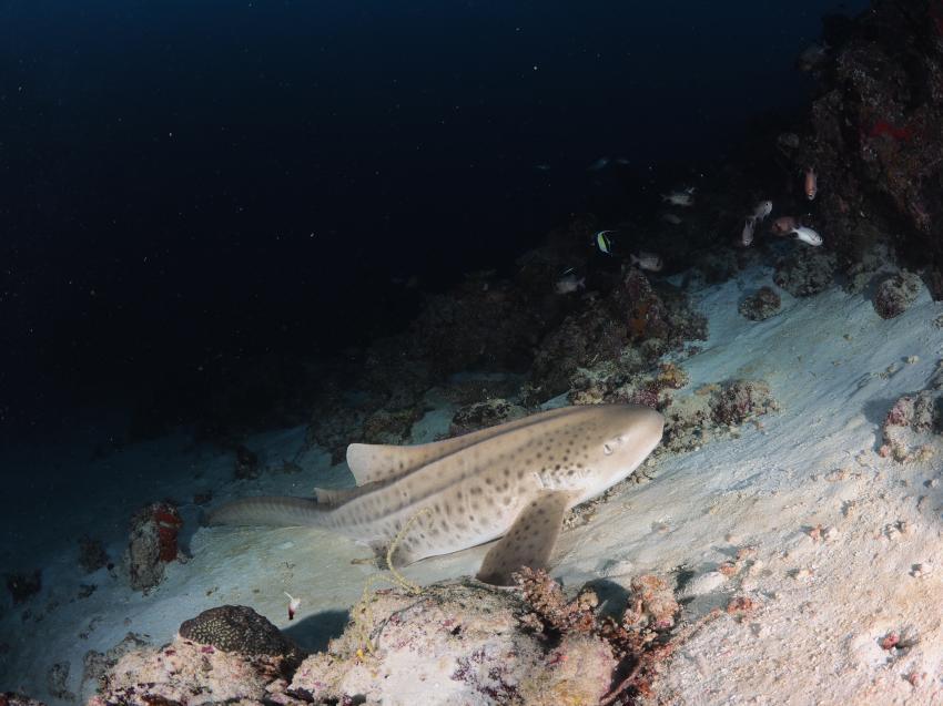 Hai, Ammenhai, Euro-Divers, Meeru Island Resort & Spa, Malediven