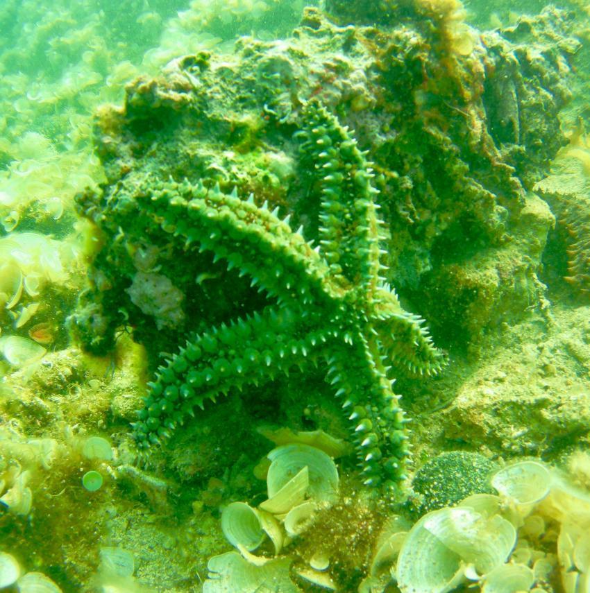 Seestern, Agios Vassiles, Griechenland