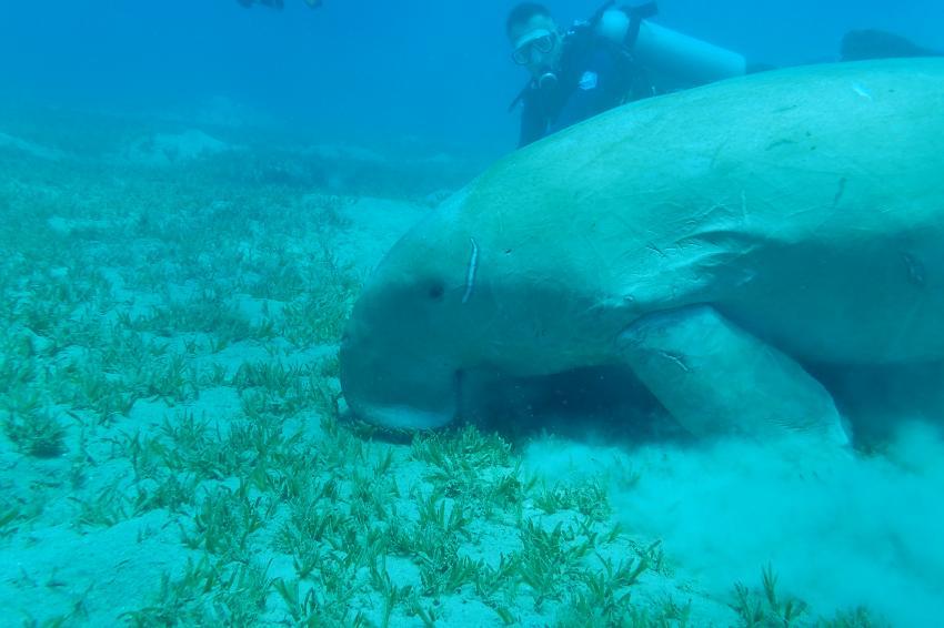 Seekuh - Dugong