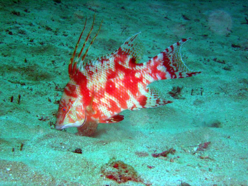 Heavently Bay; Castara; Tobago, Heavently Bay,Castara,Trinidad und Tobago,Schweinslippfisch,ungewöhnliche Färbung