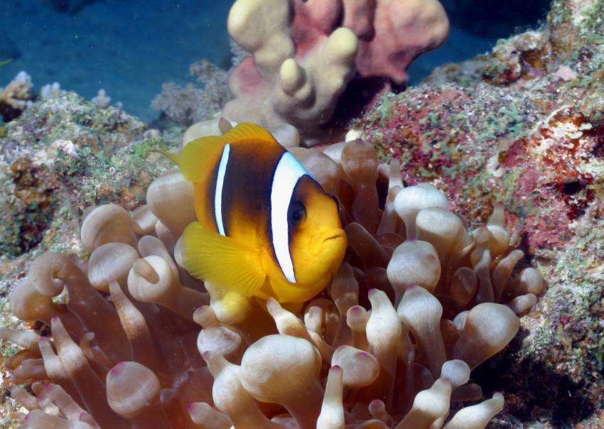 Nordtour von Hurgada bis Ras Mohammed, Nordtour von Hurgada bis Ras Mohammed,Ägypten,Anemonenfisch