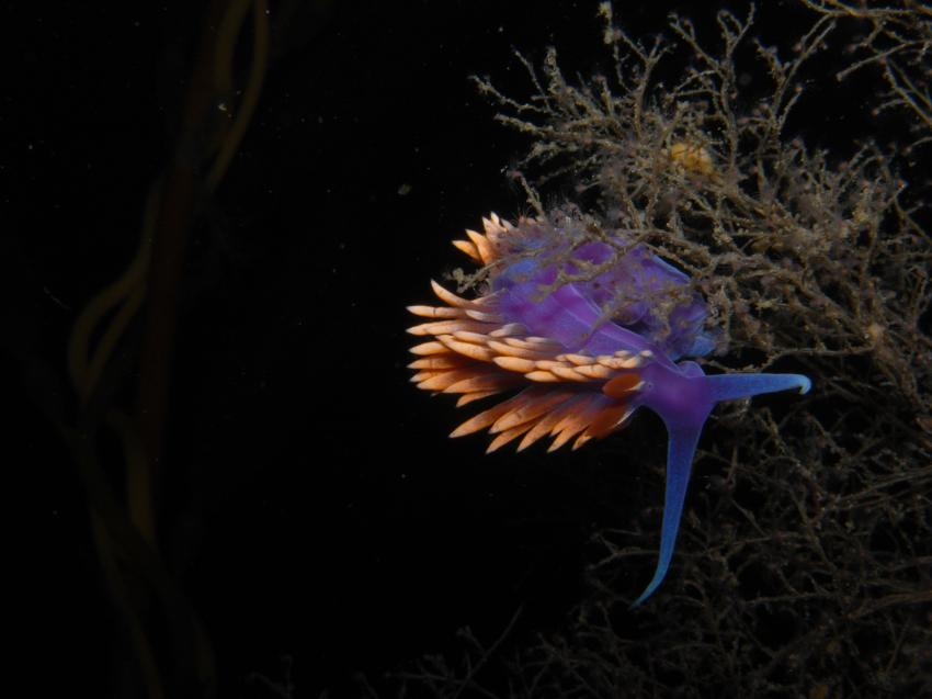Baja California, Baja California,Mexiko,Nudibranch,Fadenschnecke