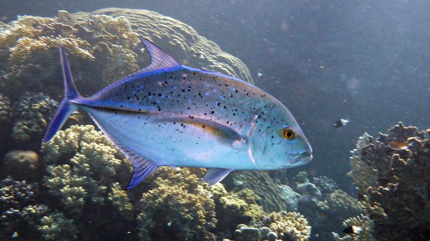 Blauflossen-Makrele
