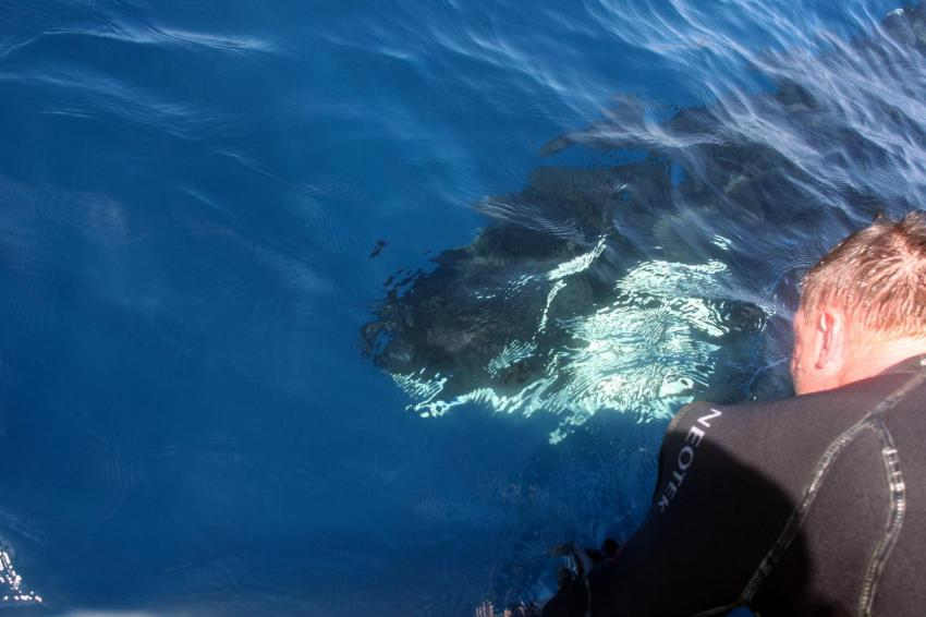 Orcas direkt unterm Boot, Dive Expert-Tours ,   Südafrika, Südafrika