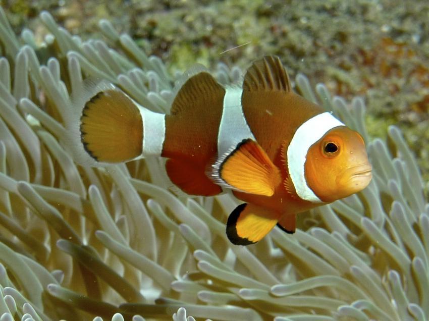 Allgemein, Thailand allgemein,Thailand,Clownfisch,Anemonenfisch,Nemo
