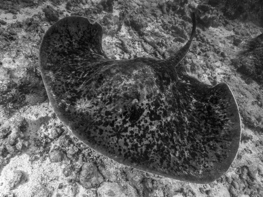Rochen, Galatea, Seychellen