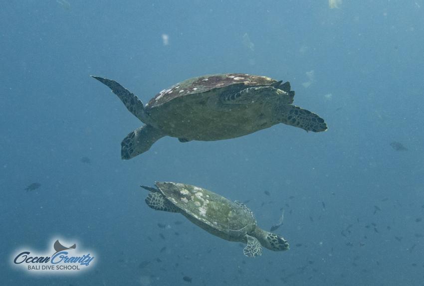 Wasserschildkröten in Bali, Ocean Gravity Bali Dive School, Indonesien, Bali