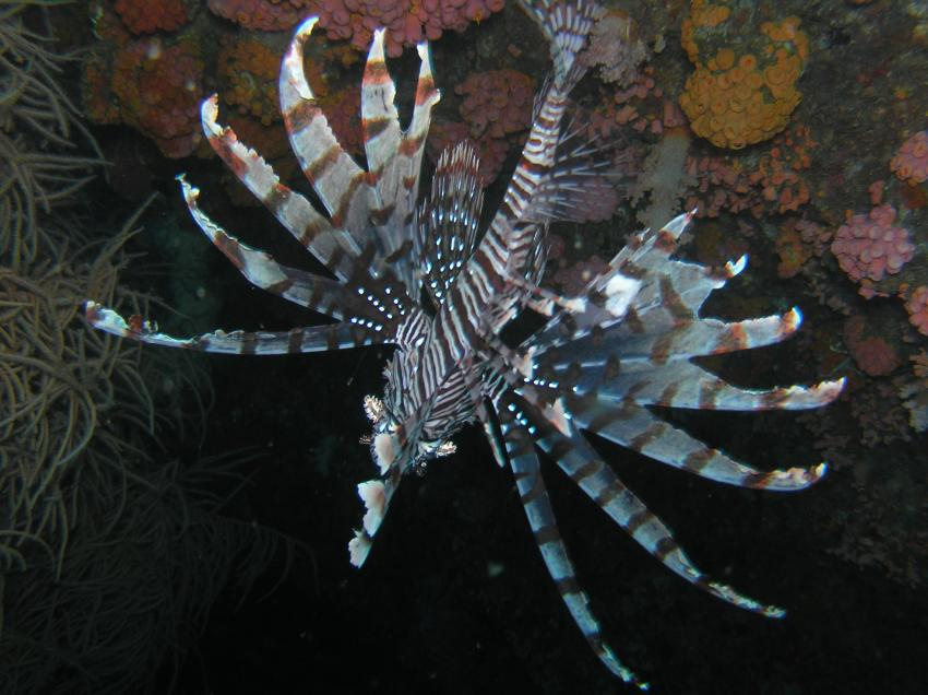Moalboal, Moalboal & Malapascua,Philippinen,feuerfisch