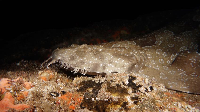 Teppichhai, Wobbegong, Feet First Dive, Nelson Bay, Australien