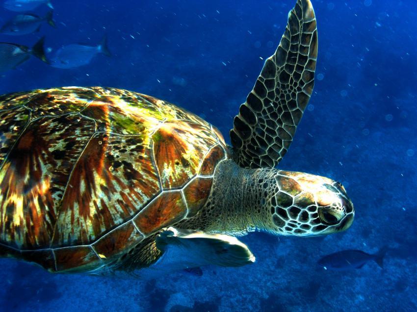 Richelieu Rock, Richelieu Rock,Thailand,Meeresschildkröte
