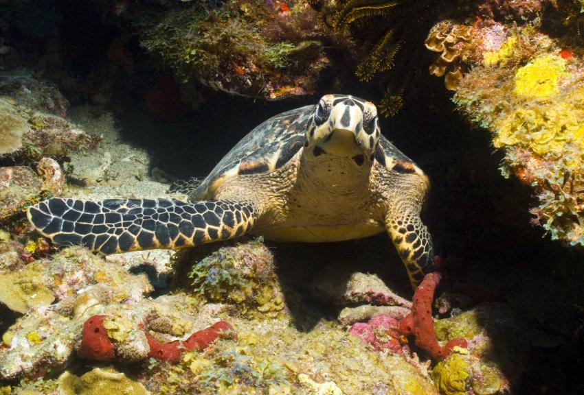 Soufriere, Soufriere,St. Lucia,Meeresschildkröte