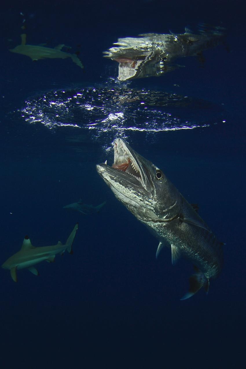 Palau und Yap allgemein, Palau und Yap allgemein,Palau,Barakuda,Maul,offen,Oberfläche,Haie