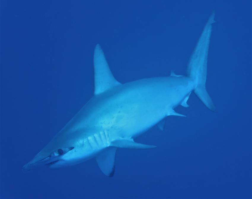 Hammerhaie beim Daedalus Riff, MY Red Sea Explorer - Extra Divers , Ägypten