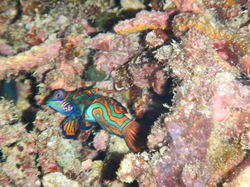 Manadarinfisch, Papua Paradise Eco Resort, Indonesien, Allgemein