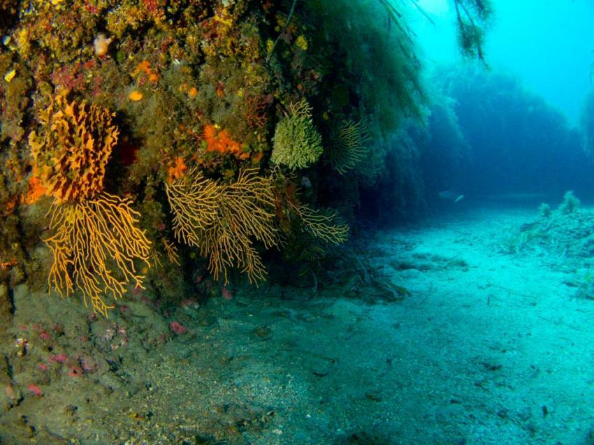 Gelbe Gorgonien @ Biankas Garden, Sardinia Divers, Orosei, Italien, Sardinien