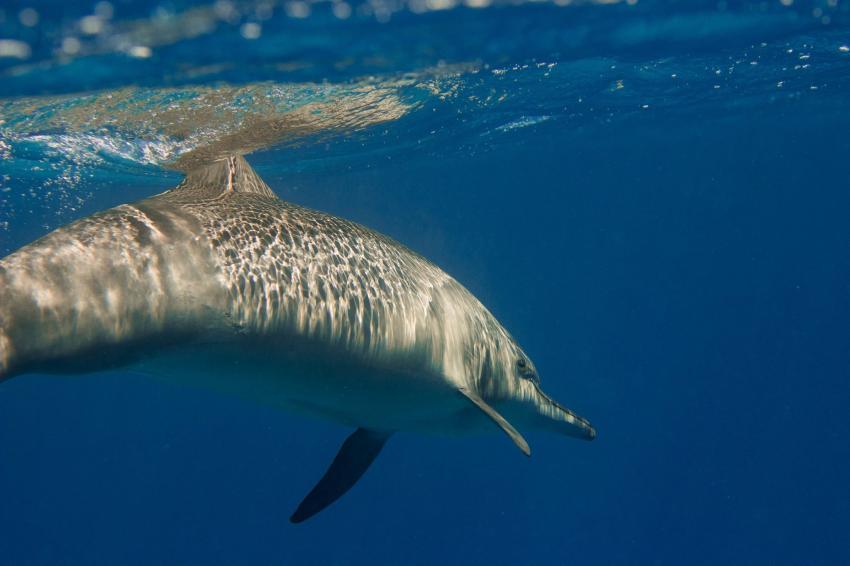 Delfin am Shaab Marsa Alam, Delfin dolphin, Wonderful Dive, Akassia LTI & Calimera, Ägypten, El Quseir bis Port Ghalib