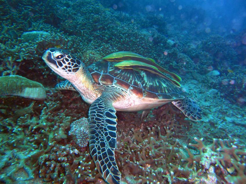 dive society, unterwasseraufnahmen, negros dauin,Philippinen,Schildkröte,Karettschildkröte