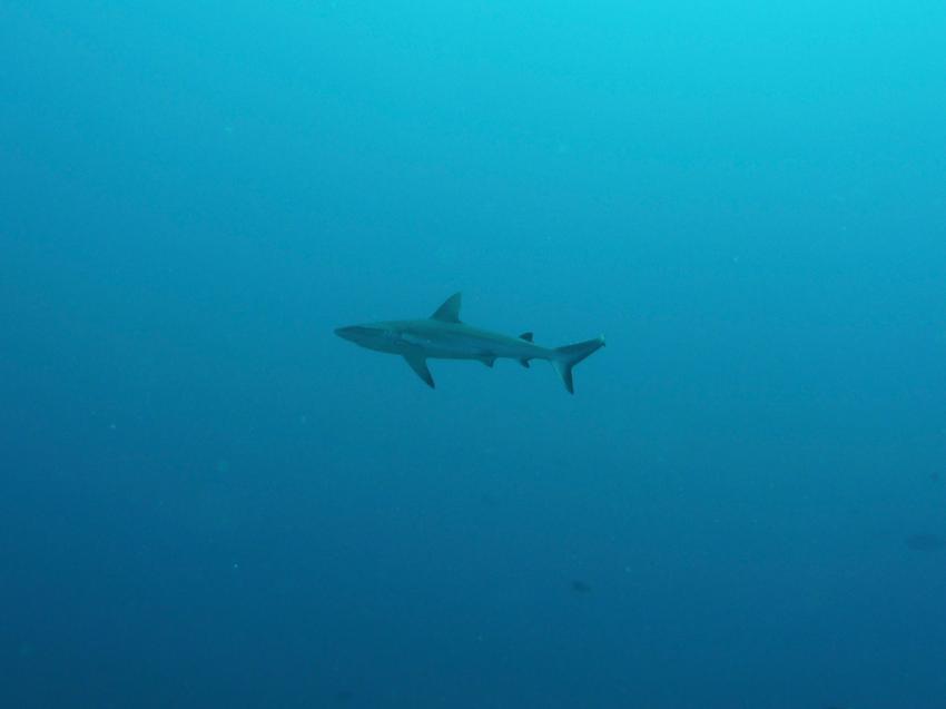 grauer Riffhai, Extra Divers Christmas Island, Australien