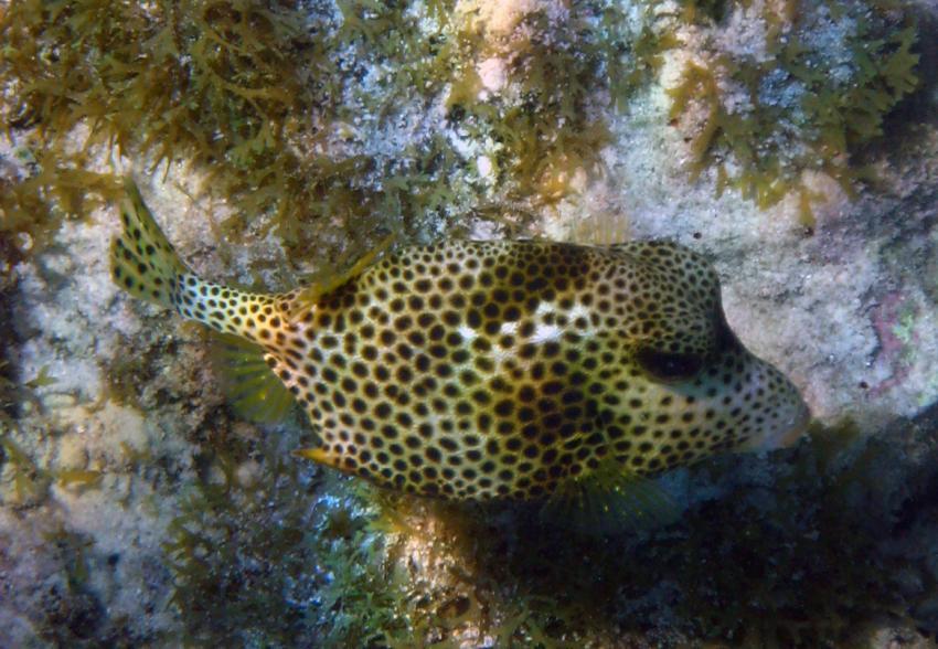 rund um West Punt, West Punt,Curaçao,Niederländische Antillen,Gefleckter Kofferfisch