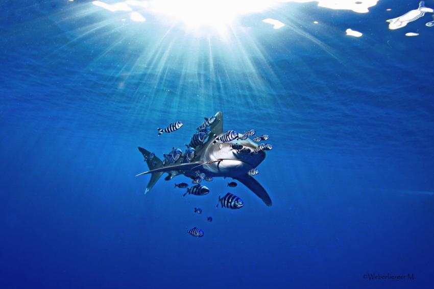 Longimania, Daedalus Riff,Ägypten,Pilotfische,Hai,Carcharhinidae,Weißspitzenhochseehai,Longimanus