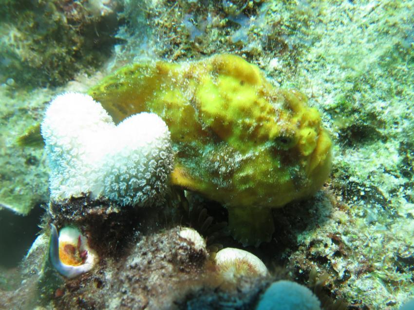 Froggy, Curacao Divers (Sun Reef Village), Sint Michiel, Niederländische Antillen, Curaçao