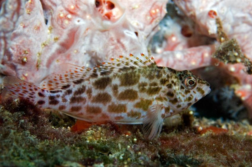 Lhaviyani Atoll Komandoo, Lhaviyani Atoll Komandoo,Malediven,gefleckter Korallenwächter,Cirrhitichthys oxycepahlus