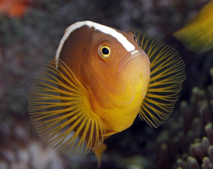 Urlaubsbilder, Raja Ampat,Indonesien,nemo,Anemonenfisch