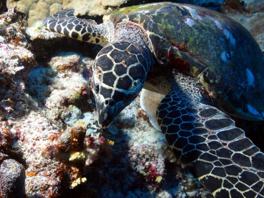 Palau Aggressor 2, Palau und Yap allgemein,Palau,Schildkröte