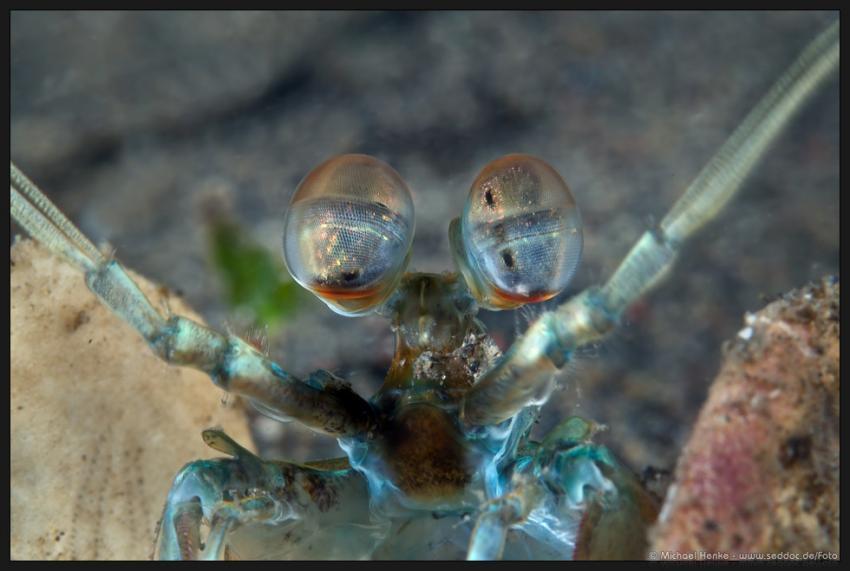 Puri Jati, Puri Jati,Indonesien,Fangschrecken,Heuschreckenkrebs (Stomatopoda)