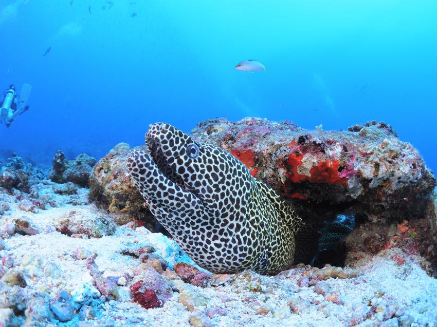 Muräne, Mooray Eel, Euro-Divers, Meeru Island Resort & Spa, Malediven