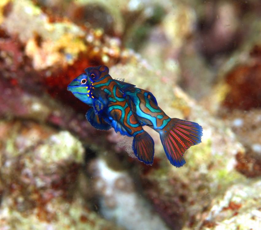 Makroparadies, Sabang/Puerto Galara/Mindoro OR/Philippinen,Philippinen,Mandarinenfische,Pärrchen