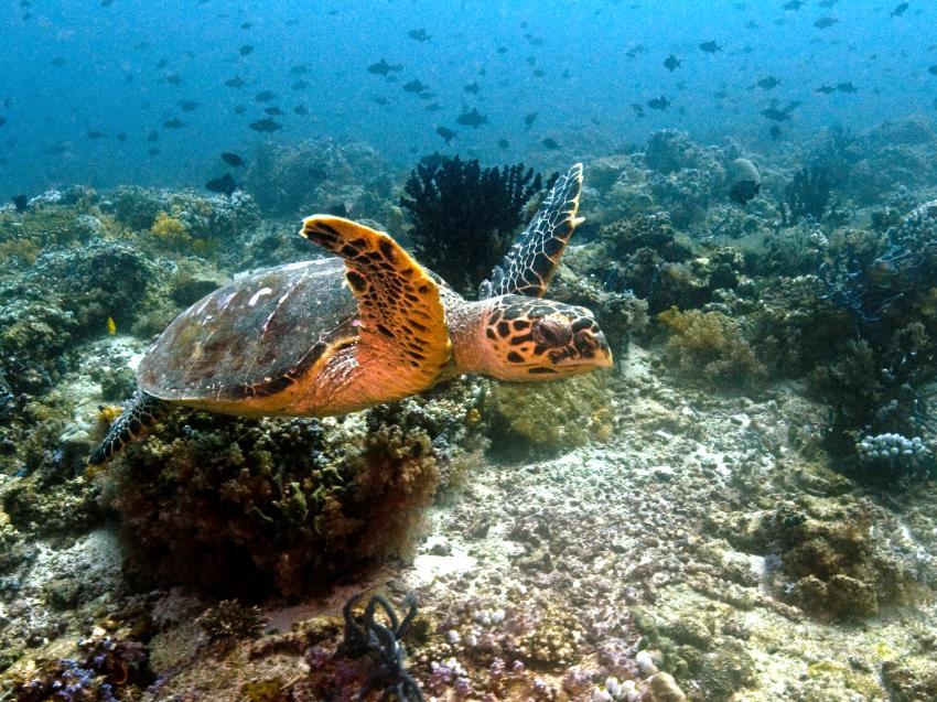 aus dem Süden des Ari Atolls, Süd Ari-Atoll,Malediven,Meeresschildkröte