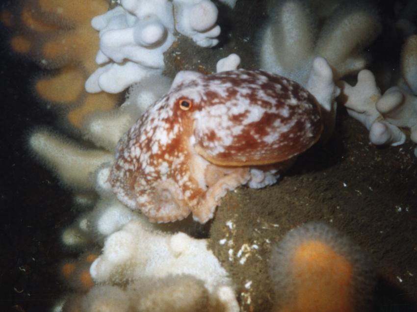 St. Abbs, St. Abbs,Schottland,Großbritannien,Oktopus,krake