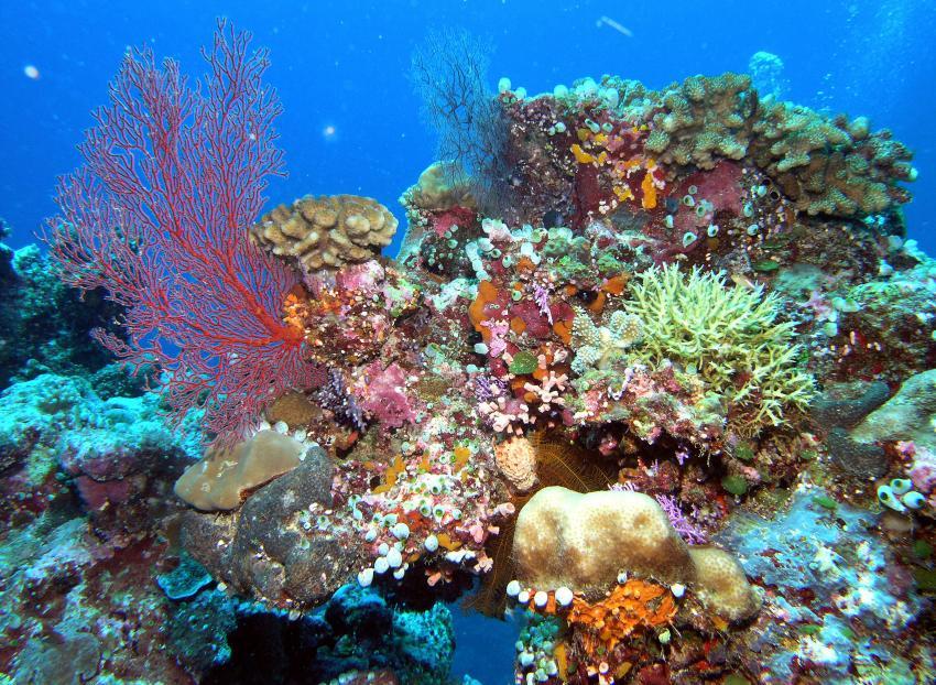 Blue Corner und German Channel, Palau allgemein,Blue Corner,Palau,Riff,Rifflandschaft,Korallen