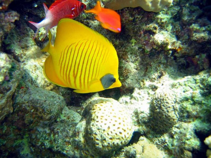Shark Bay, Shark Bay - Sharm el Sheikh,Ägypten,Maskenfalterfisch