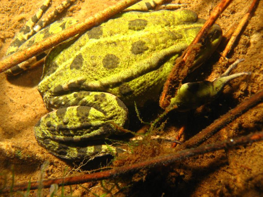 Tergast, Tergast,Niedersachsen,Deutschland,frosch,unke