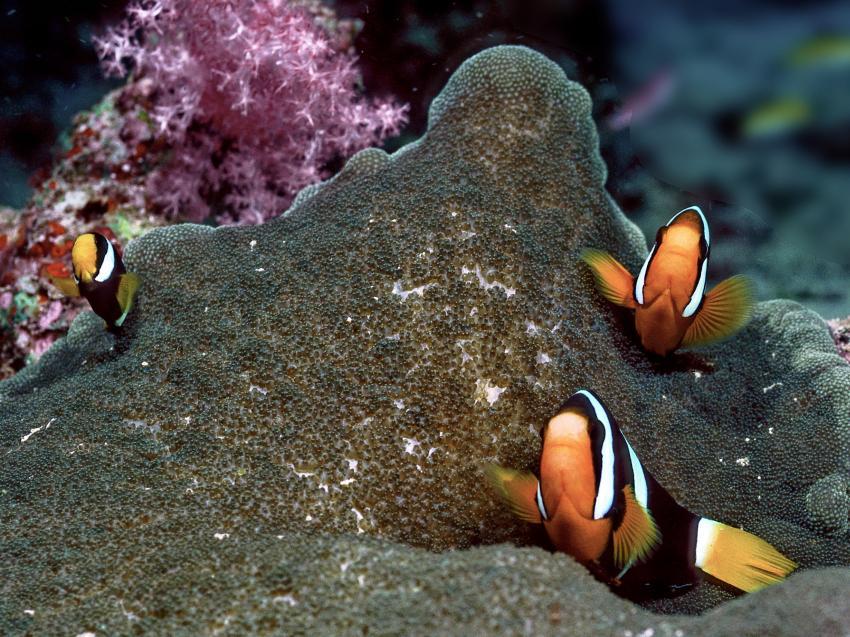 Clownfish - Bird Rock