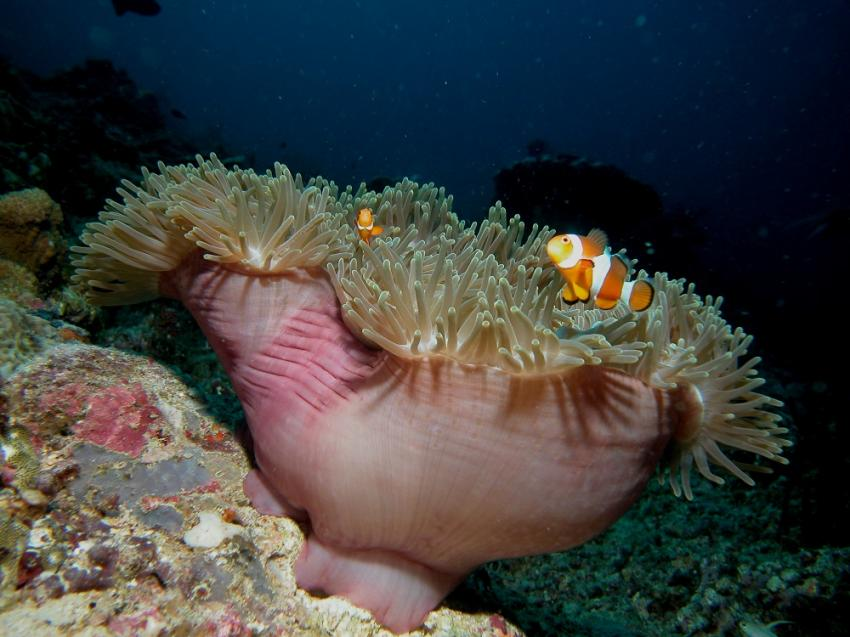 Clownfish, Blue Season Bali, Indonesien, Bali
