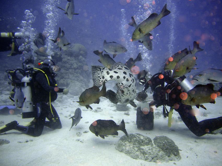 Potato Cods, Cod Hole,Great Barrier Reef,Australien,taucher,zackis,fütterung