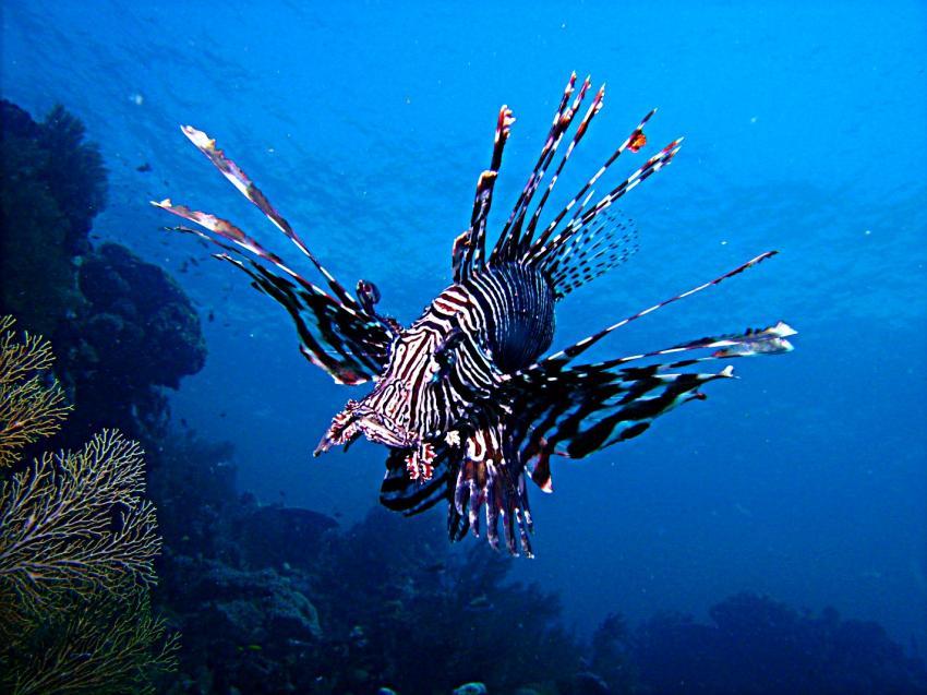 West-Papua Raja Ampat, West-Papua Raja Ampat,Indonesien,rotfeuerfisch
