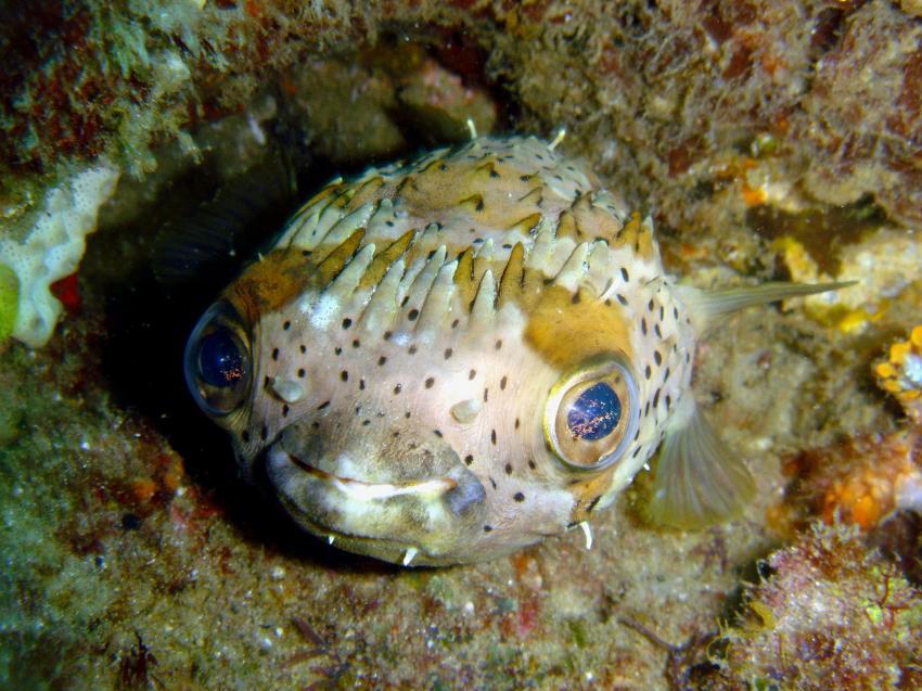 Tofo, Tofo,Mosambik,Igelfisch,Diodontidae