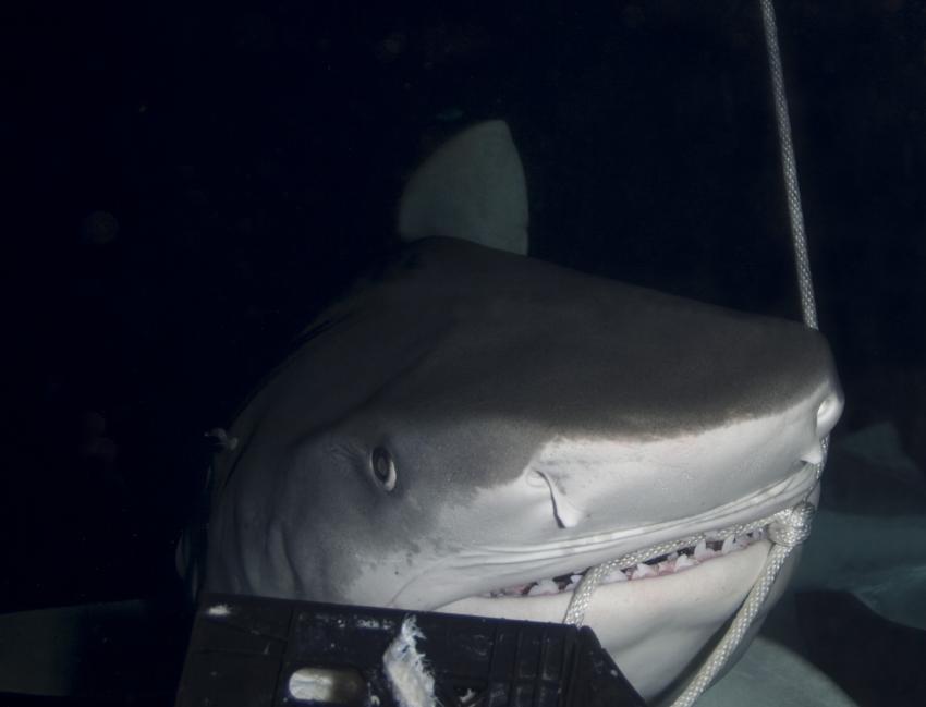 Grand Bahama, Grand Bahama,Bahamas,Tigerhai bei Nacht