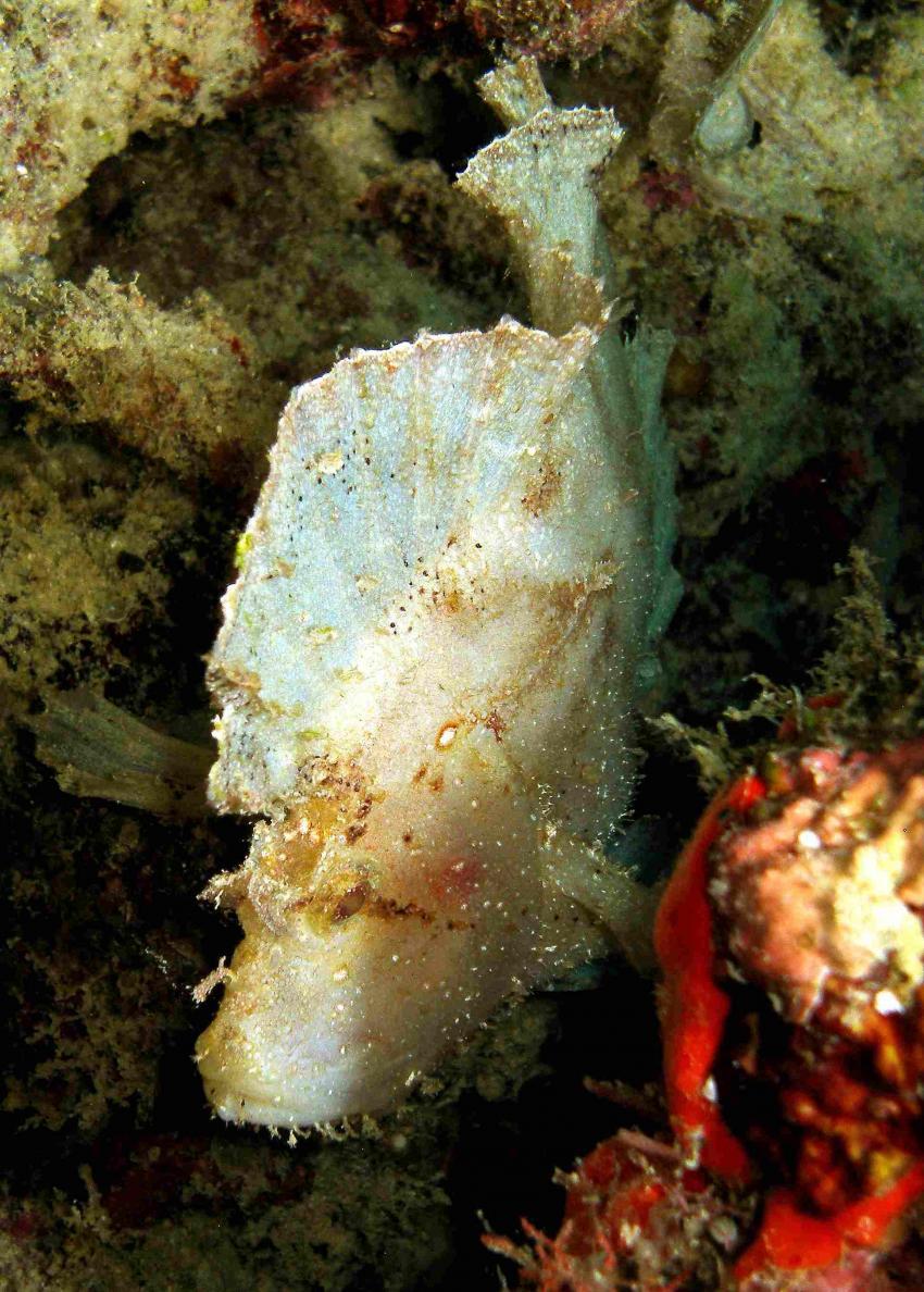 Kapalai, Kapalai,Malaysia,Schaukelfisch