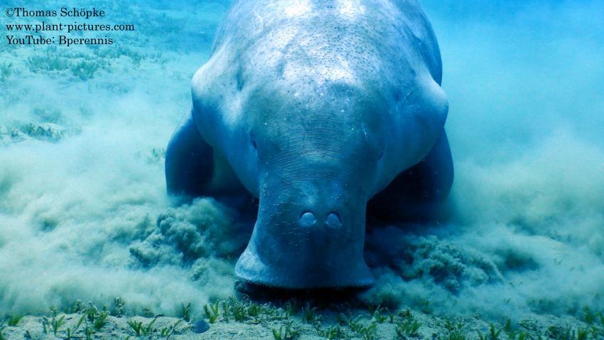 Das Dugong von Sheikh Malik