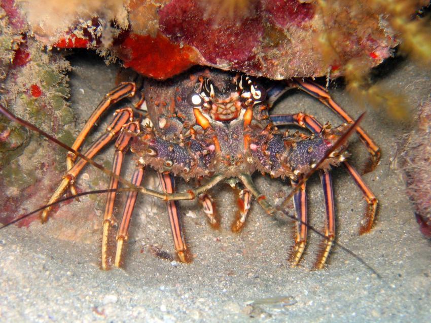 Puerto Plata Dressel Divers, Puerto Plata,Dominikanische Republik,hummer,lobster