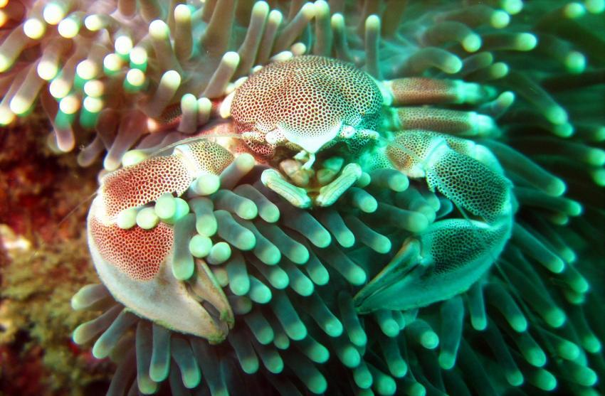 porcelain crab, neopetrolisthes maculatus, Tofoscuba, Tofo, Mosambik