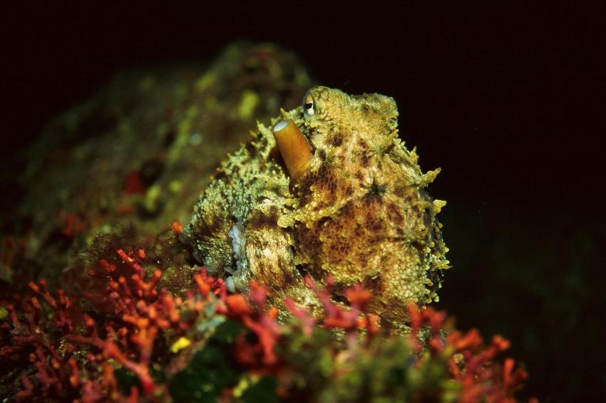 Mallorca Dragonera, Mallorca,Dragonera,Spanien,Octopus,tarnung,beige,oberfläche,sepia,tintenfisch