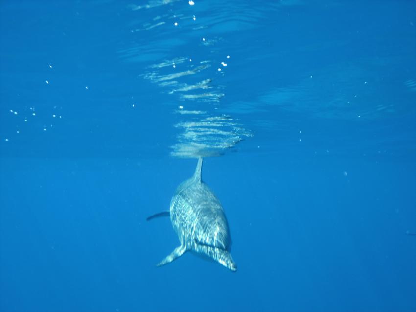 Shaab Marsa Alam, Sha´ab Marsa Alam,Ägypten,Delphin,Delfin