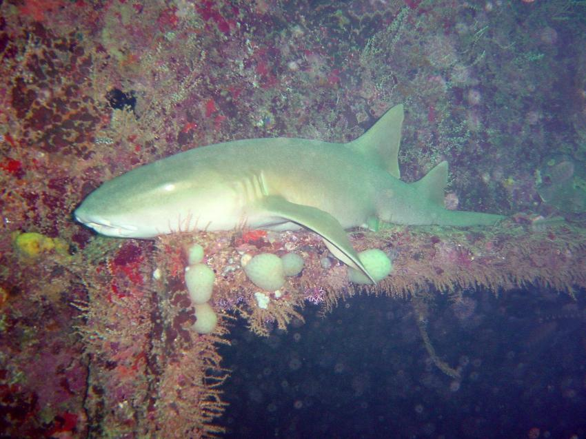 Wrack der San Juan - Shark Wreck, Wrack der San Juan,Grenada